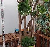 청법사|Aeonium arboreum