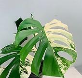 보르시지아나 알보 바리에가타 대품/ 높이 48 너비 58/ 귀한 반반잎 최상품|