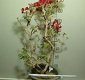 부겐베리아분재목2번-일년내내꽃피는나무-현재잎갈이중-동일품배송|
