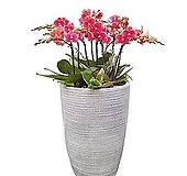 호접란(금나비) 일반도자기완성분 대품 개업축하식물 행사화분 DSP-041|variegated