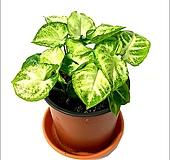 들꽃향기 공기정화 초화식물 싱고늄|