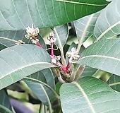 기분 좋은 사과향이 나고 열매가 열리는 대형 식물 화분 애플망고나무 (업체직배송/서울,인천,경기/운임비상이) 