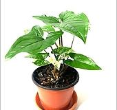 들꽃향기 공기정화 초화식물 무늬싱고늄|