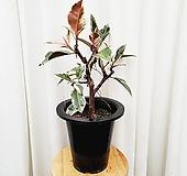 김규리플라워/ 수채화 고무나무 티네케 고무나무 (대품)|