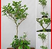 꽃과나무 ] 함소화 / 대품 / 봄꽃 / 향기 / 양지 / 반양지 / 최저5도 / 동남아산|