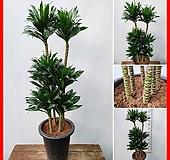 꽃과나무 ] 콤펙타 / 특대품 / 관엽 / 목본류 / 관상용 / 공기정화 / 선물 / 생명력 / 최저-10도 / 아프리카|