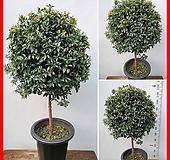 꽃과나무 ] 피어리스 / 특대품 / 공기정화 / 관엽 / 외목대  / 양지식물 / 최저5도 / 호주산|Echeveria Fiona
