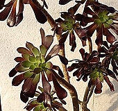 로즈흑법사(컷팅10두한몸)2-161|Aeonium Schwartzkopf