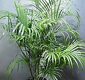 아레카야자 특특특대품2번-높이160센치-한뿌리한몸-굵은묵은주-동일품배송|