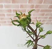 [도희씨네 정원] 소담하고 복스러운 백목단 백모란 350|Echeveria cv Beniothine