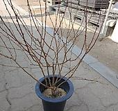 [성심] 산앵두 (70cm)|