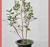 꽃과나무 ] 애플구아바나무 / 생명살리는나무 / 유실수 / 양지식물 / 최저온도 5도 / 남미산|