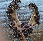 특대품 흑법사철화 사슴뿔수형|Aeonium arboreum var. atropurpureum