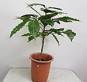 커피나무(외목대,중,대품)|
