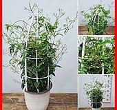 꽃과나무 ] 학 자스민 / 초본류 / 봄꽃 / 향기 / 반양지식물 / 최저온도3도 / 아시아|