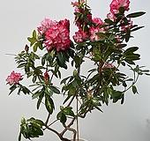 [특이수형목대/꽃대가득] 특특대품 투톤 무늬 만병초 / 동일품배송|