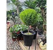 동그란 율마 솜사탕 율마 인테리어식물|