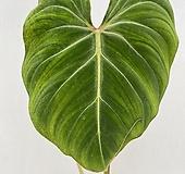 [새잎올라오는중] 필로덴드론 글로리오섬 1 / 동일품배송|