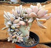 익스펙트리아철화 2-0600|Cremneria Expatriata f cristata