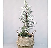 블루아이스(엘사트리)+바구니세트 거실인테리어식물|Echeveria blue ice