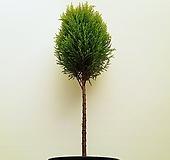 꽃파는농부 - 핫도그율마(외가지) (높이 110cm내외) 