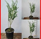 꽃과나무 ] 호주아카시아 / 향기 / 호주국화 / 봄꽃 / 최저5도 / 호주산 |