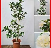 꽃과나무 ] 호주황동백/ 겨울꽃 / 조매화 / 반양지식물 / 최저온도-10도 / 호주산|