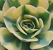 르노어딘금022333|Echeveria Lenore Dean