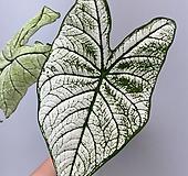 [큰잎] 칼라디움 칸디덤 3/ 동일품배송|