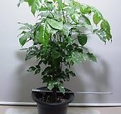 신종녹보수7번-높이 60센치-최고공기정화식물-동일품배송|Sedum dendroideum