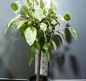뱅갈고무나무 대품 벵갈고무나무-높이140센치-공기정화최고-동일품배송 |