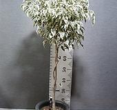 칼라 휠벤자민2번-특대품-높이 120센치-동일품배송|