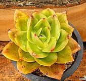 원종 환엽쥬피터 (진품) 2-0641|Echeveria Jupiter