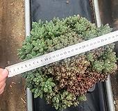 천대전송철화 특대품_육이하우스|Pachyphytum compactum