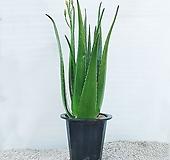 알로에 대품 효능 많은 키우기 쉬운 식물 [하늘꽃농원]|
