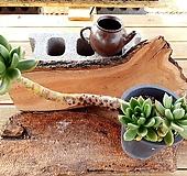 축송 50cm 자연군생 2-0739|Echeveria scaphophylla