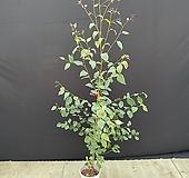 유칼립투스 슈가검 대 120cm 