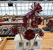 흑법사 자연한몸 대품 2-0799|Aeonium arboreum var. atropurpureum