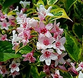 조경수 무늬병꽃(삼색병꽃) 7치 포트 / 정원수 / 조경수 / 울타리목 / 꽃나무 / 봄꽃 /|