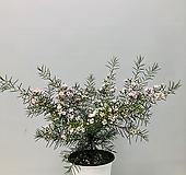 왁스플라워 (동일품배송 )|Echeveria agavoides Wax
