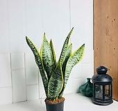 책상 테이블용 식물 산세베리아 로렌티 소형 공기정화식물 |