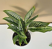 그루그루 비타타 칼라데아 공기정화식물 