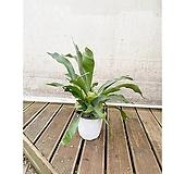 박쥐란 중대품(포트) 거실 인테리어식물 관엽|