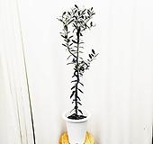 김규리플라워/ 열매가 열리는 외목대 올리브나무 