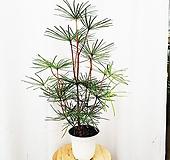 김규리플라워/ 고급스러운 층층이 자라는 잎이 매력인 소나무 금송|variegated