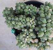 익스펙트리아철화_97|Cremneria Expatriata f cristata