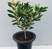 병솔나무 (동일품배송 )|
