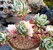 블랫블루아나금철화군생 3-081 Echeveria bradburiana