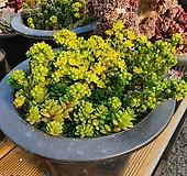 리틀잼 군생 대품 Cremnosedum Little Gem (Crassulaceae)