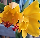 러러브릿지 카틀레야 카틀레아 실내식물 공기정화식물 화초 엑스플랜트 엑플|